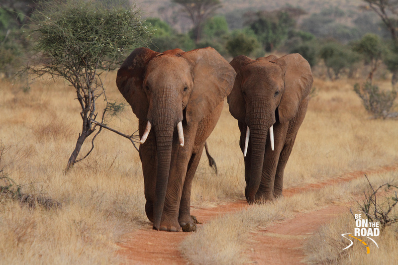 An Elephant March at Samburu National Reserve, Kenya