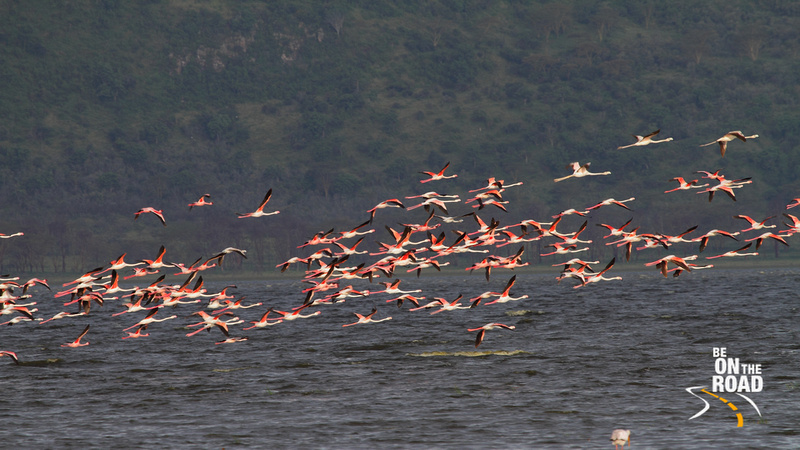 Lake Nakuru sees the largest concentration of flamingos in Kenya