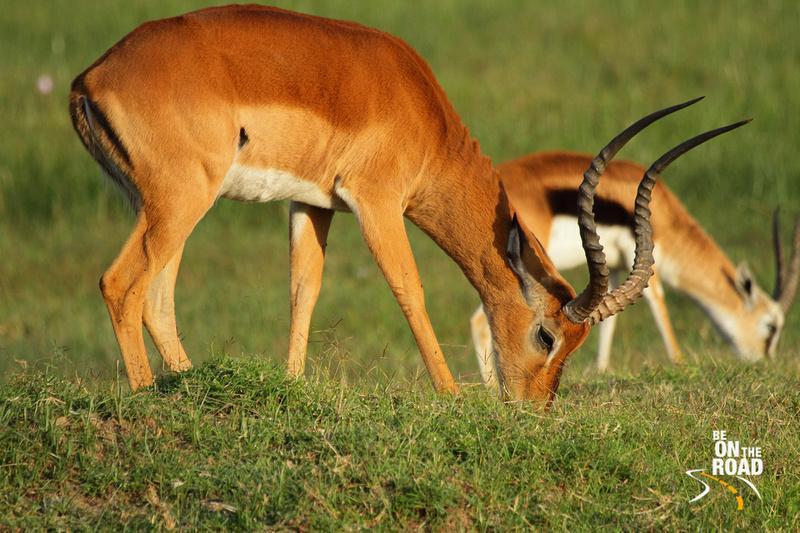 Impala feeding at Lake Nakuru National Park, Kenya