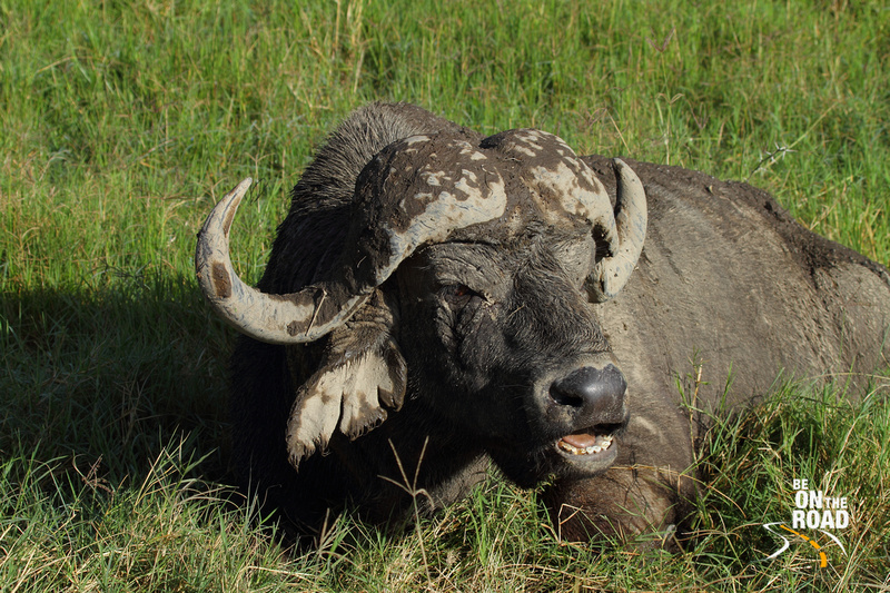 Cape Buffalo rests in the swamp land of Lake Nakuru