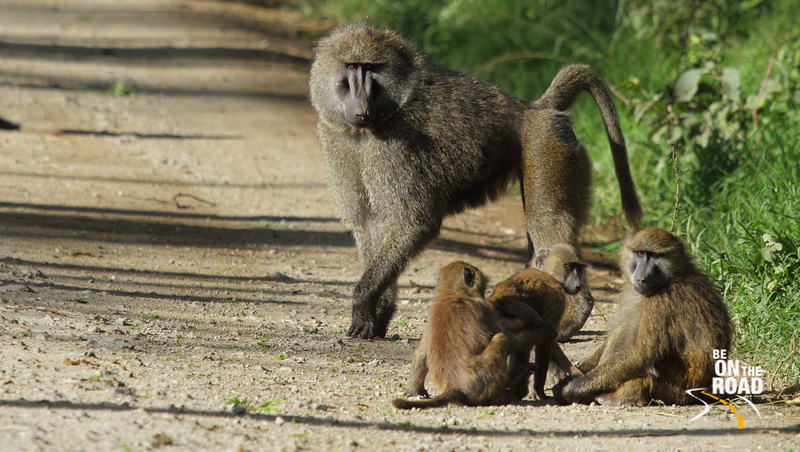 An Olive Baboon family