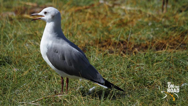 Grey-headed gull - seen quite commonly around Lake Nakuru