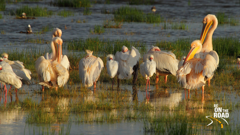 A Group of Great White Pelicans and African Spoonbills