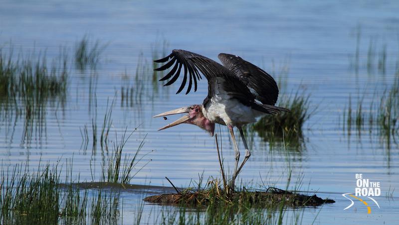 Marabou Stork gets ready to eat its prey at Lake Nakuru National Park, Kenya