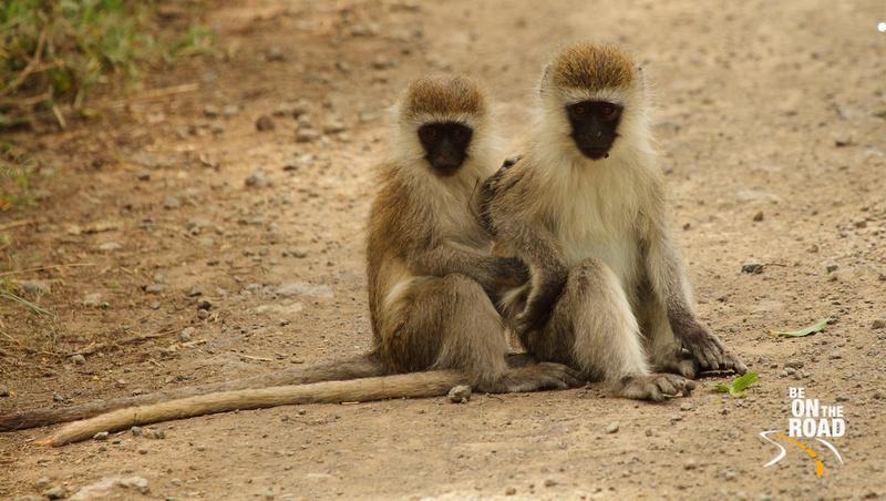 Black Faced Vervet Monkeys: Inquisitive brothers
