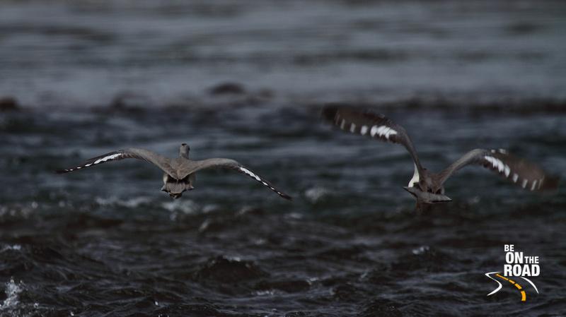 Ibisbills in flight at Nameri National Park, Assam, India