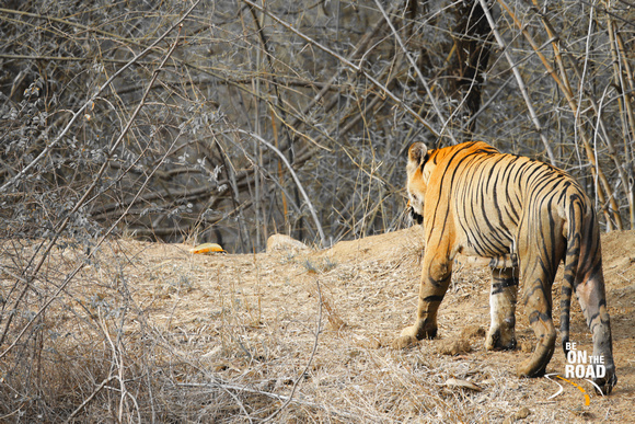 The king of Tadoba Tiger Reserve, India