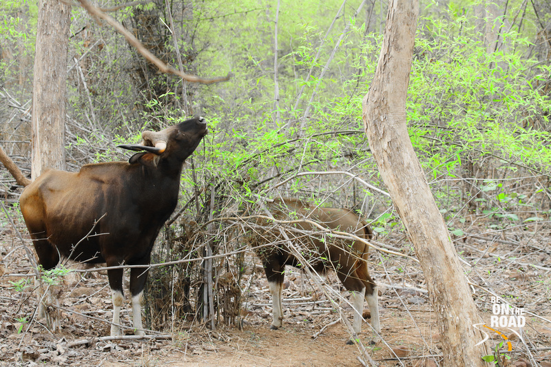 Gaur mother and calf grazing at Tadoba Tiger Reserve, India