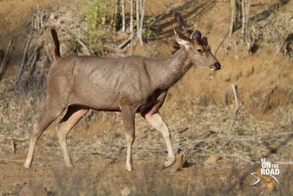 Female Sambar Deer at Tadoba Andhari Tiger Reserve