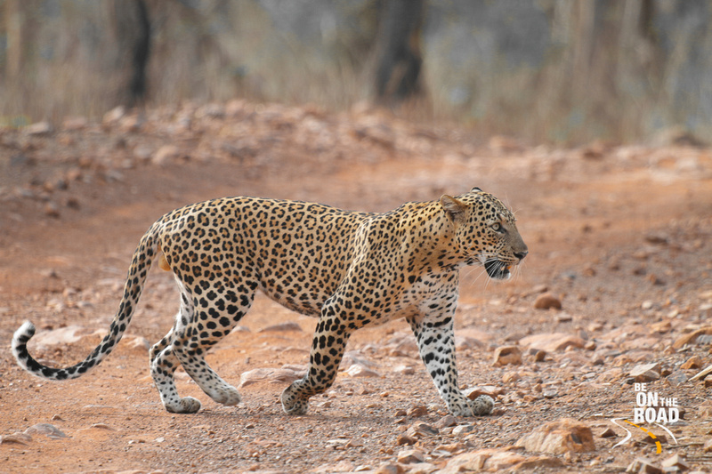 A Tadoba spotted leopard crossing a jeep track