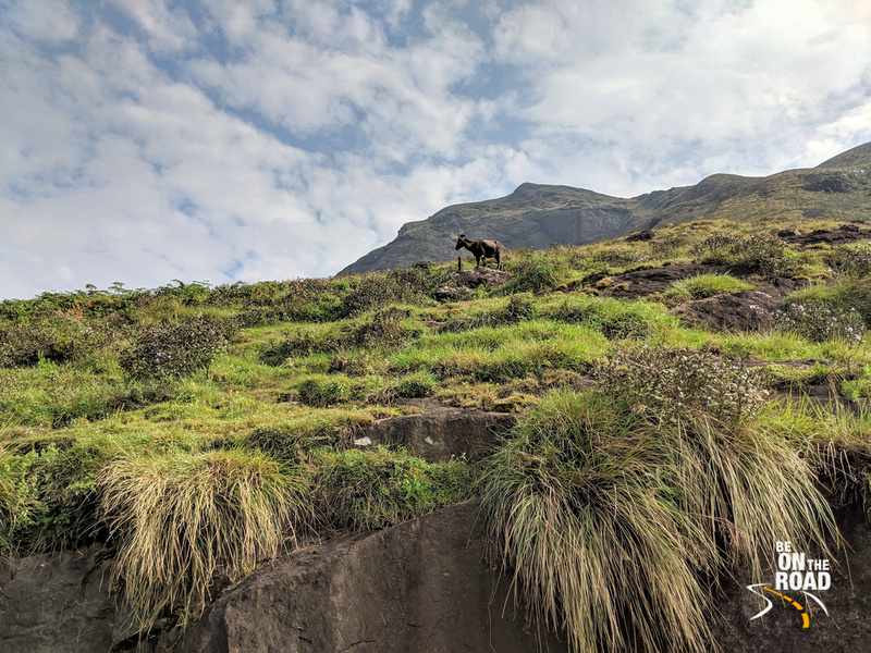 Endangered Nilgiri Tahr walks amidst the rare Neelakurinji flowers