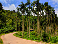 Areca plantations and countryside roads of Malnad, Karnataka
