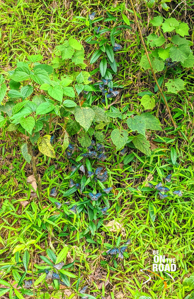 Blue Butterflies at Bisle Forest, Karnataka