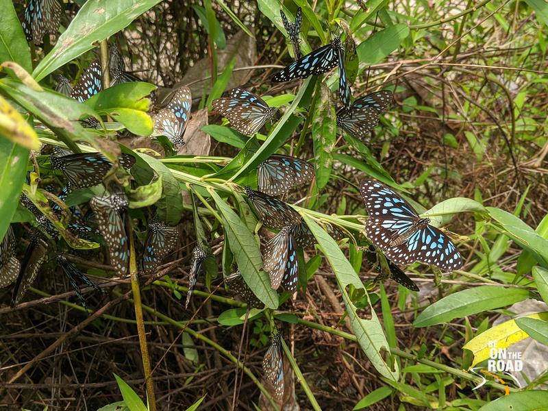 Butterflies at Bisle State Forest, Karnataka