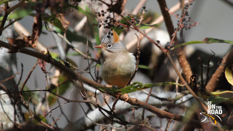 Rufous Vented Yuhina at Eaglenest Wildlife Sanctuary