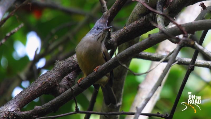 Stripe Throated Yuhina at Eaglenest Wildlife Sanctuary, Arunachal Pradesh