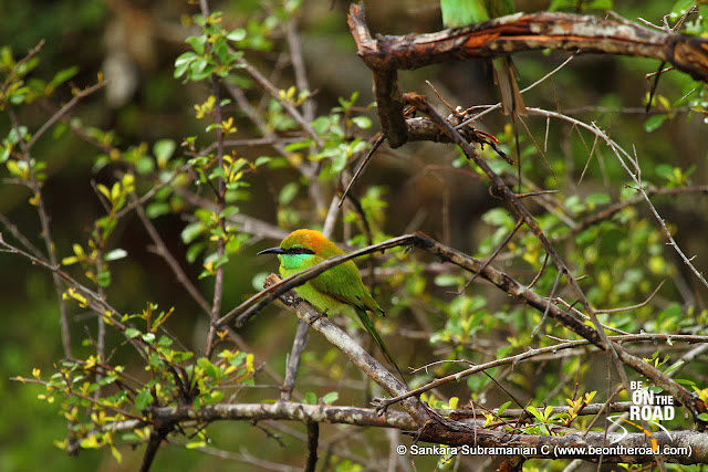 A sharp looking Green Bee Eater