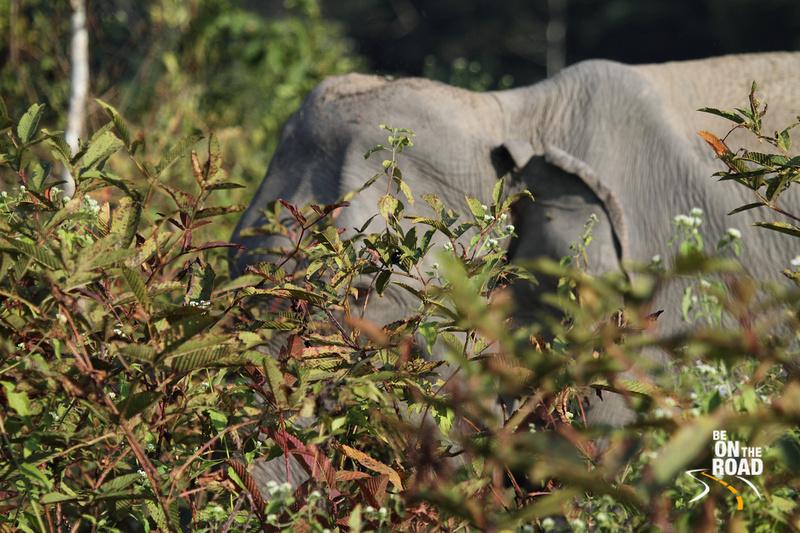Wild elephant up close at Nameri National Park, Assam, India