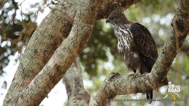 Changeable Hawk Eagle at Yala National Park - 1