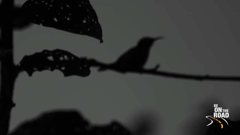 Silhouette of Green Tailed Sunbird (Female) at Eaglenest Wildlife Sanctuary
