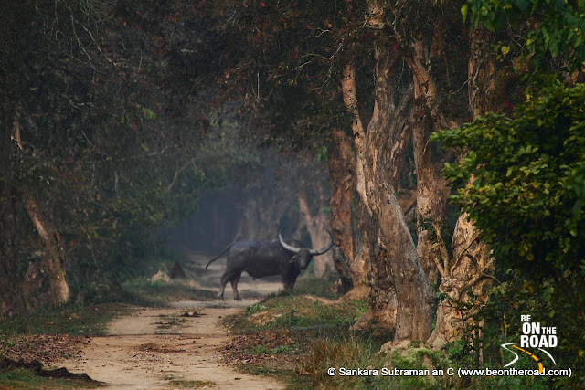 Wild Buffalo crosses the jeep track