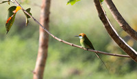Green Bee-Eater at Ranganathitu Bird Sanctuary