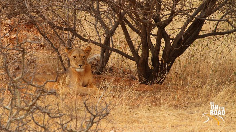 A Samburu lioness