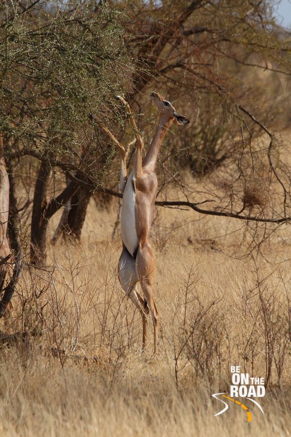 A muscular gerenuk feeds while standing on its hind legs