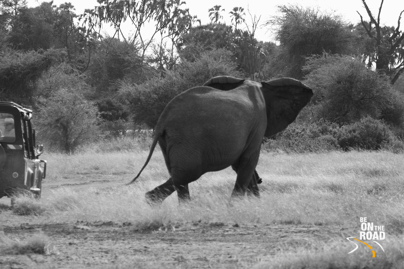 An elephant watches a safari vehicle go by