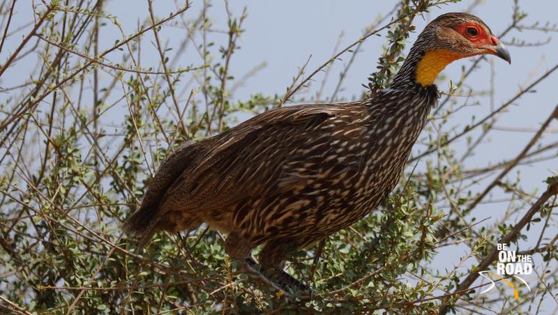 Yellow-necked Spurfowl on top of a bush at Samburu National Reserve
