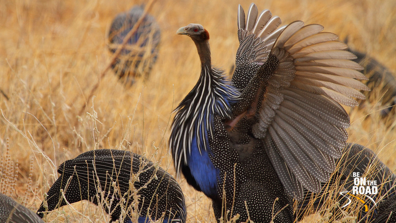 Beautiful Vulturine Guineafowl flapping its wings