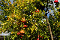 Pomegranate farms on the Lycian way trail