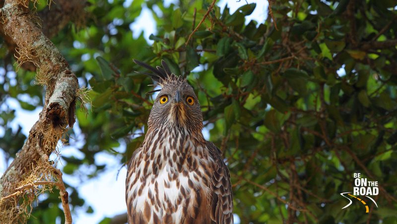 The eyes of Changeable Hawk Eagle at Yala National Park