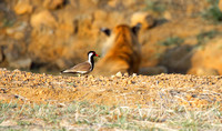 Red Wattled Lapwing in front of a Tadoba Tiger