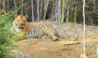 Big Healthy Matkasur Male Tiger of Tadoba