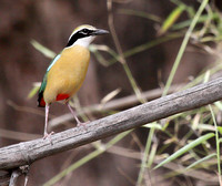 Colorful Indian Pitta as seen at Tadoba Tiger Reserve, India