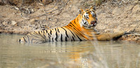 Injured Matkasur Male Tiger relaxes by the 97 waterhole at Tadoba Tiger Reserve, India
