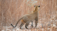 A Tadoba spotted leopard stalking its prey