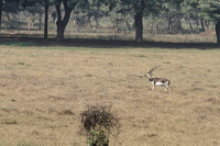 Male Blackbuck strolls in the premises of Sikandra, Agra