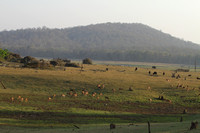 A Kabini Grazing Moment - Spotted deer, gaur, wild boar and elephant all together