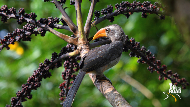 Grey Malabar Hornbill seen at Monica Garden Tea Bungalow, Valparai