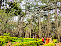 The gorgeous root structures of Dodda Alada Mara (Big Banyan Tree)