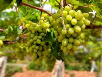 Grapes getting ready at a Vineyard in Rural Chikkaballapur