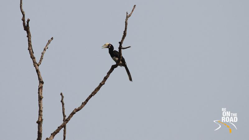 Oriental Pied Hornbill at Assam's Kaziranga National Park
