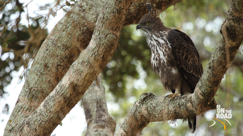 Changeable Hawk Eagle at Yala National Park