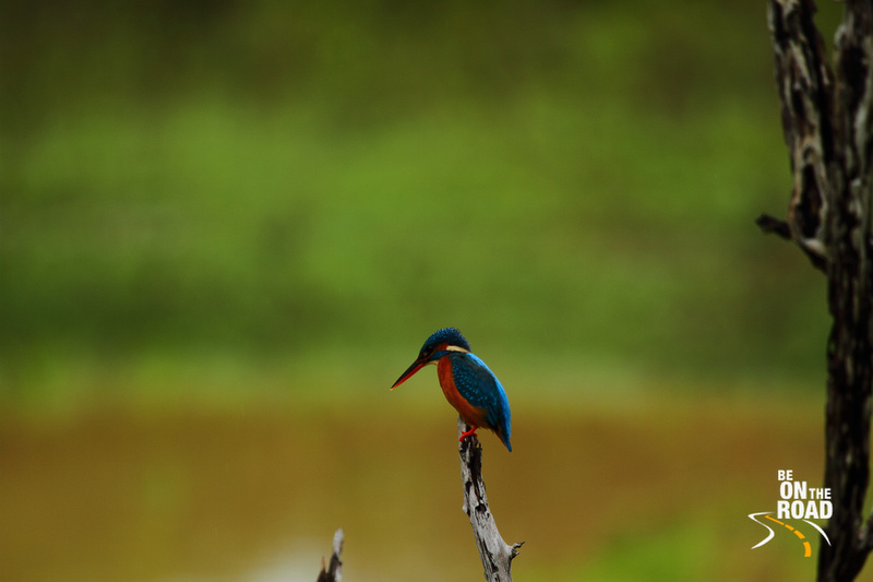 Common Kingfisher at Yala National Park