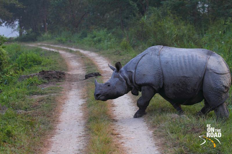 One horned rhinoceros crossing a jeep track at Kaziranga National Park, Assam