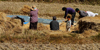 Rice harvest time in the fields of Punakha, Bhutan