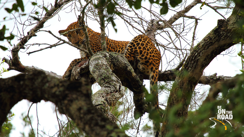 A Leopard's glaring look