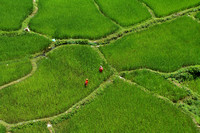 Green paddy fields at the Tashi Palkiel Tibetan Refugee Camp, near Pokhara, Nepal